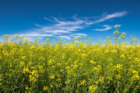 Rapeseed field in a blue sky 스톡 콘텐츠 - 123322056