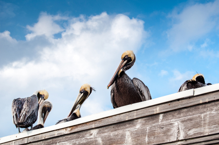 Brown pelicans have a rest