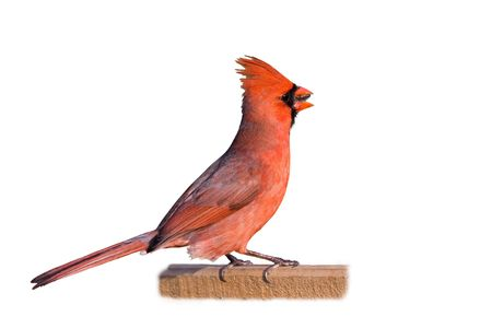 cardinal eating a sunflower seed isolated ona white background