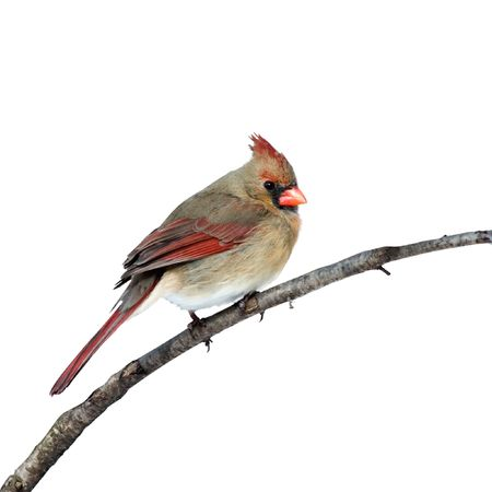 cardinal bird: female cardinal perched on a white background