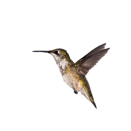 hummingbird stopped in motion on a white background Banco de Imagens