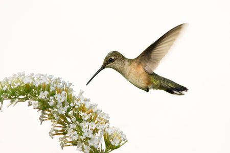 hummingbird floating over butterfly bush in preparation to eat