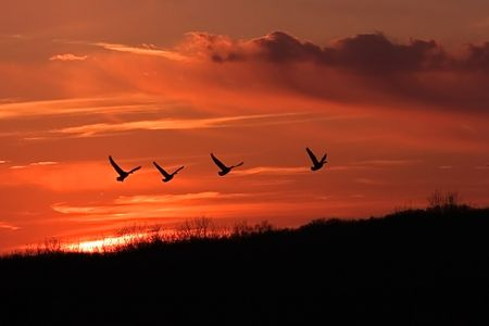 four geese flying homeward during sunset