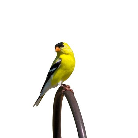 canary bird: perched goldfinch searches for food in the yard Stock Photo