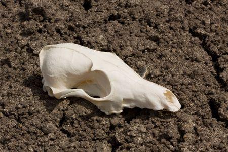 profile of animal skull on drought ridden land
