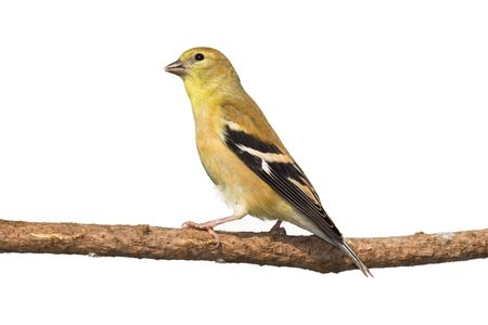 profile of female american golfinch perched on a branch. white background photo