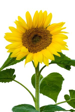 sunflower seeds: the stalk of a sunflower in full bloom. white background