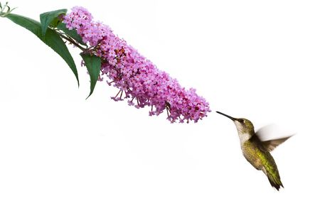female ruby throated hummingbird hovers near pink butterflybush Stock Photo