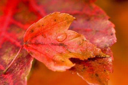 metamorphose: autumn maple leaf holds a droplet of water while resting on a larger leaf. shallow focus