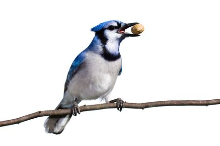bluejay prepares for flight with a peanut in tow. whit background photo
