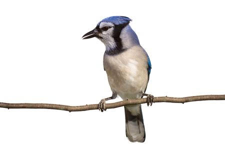 vertical full length view of bluejay perched on a branch, white background  photo