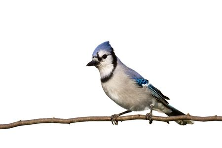 silver perch: bluejay sitting on brach with head slightly cocked on white background  Stock Photo