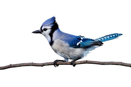 full horizontal view of bluejay perched on a branch. white background photo