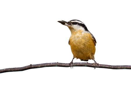 red-breasted nuthatch holds a sunflower seed while perched on a branch; white background Stock Photo - 6400629