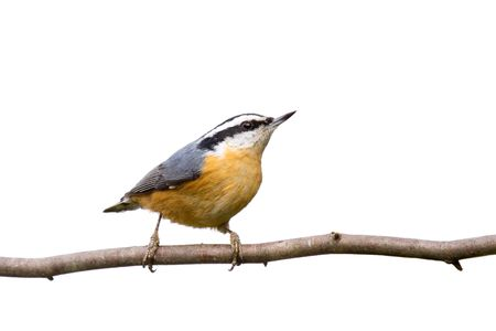 red-breasted nuthatch perched on a branch in search of food; white background Stockfoto