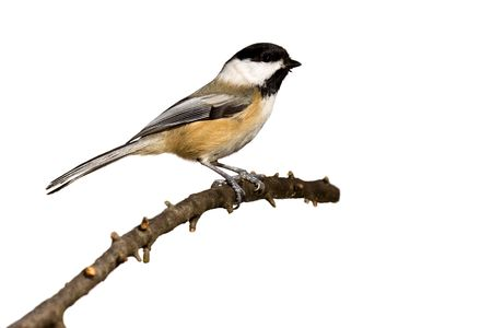 black-capped chickadee perched on a branch prepares for flight; white background Stockfoto