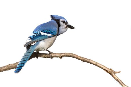 bluejay: bluejay pictured from behind sitting on branch; white background