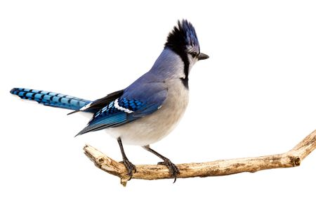 a bluejay surveying the area while standing on a branch; white background