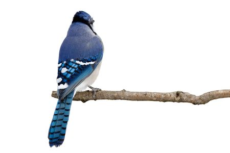 backside view of a bluejay perched on a branch; white background