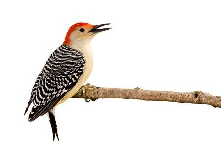 Profiel van:: red-bellied woodpecker met snavel open zat op een bijkantoor worden vermeld; witte achtergrond