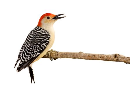 profile of red-bellied woodpecker with beak open perched on a branch; white background  Banco de Imagens