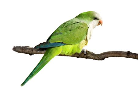 profile of a monk parrot at rest on a branch; white background photo