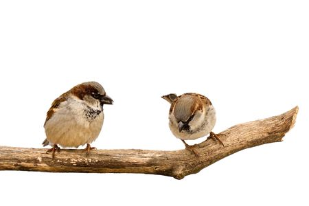two sparrows search for and eat sunflower seeds; white background