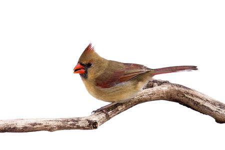 female cardinal: portrait of female cardinal preparing for takeoff with sunflower seed in her mouth; whait background