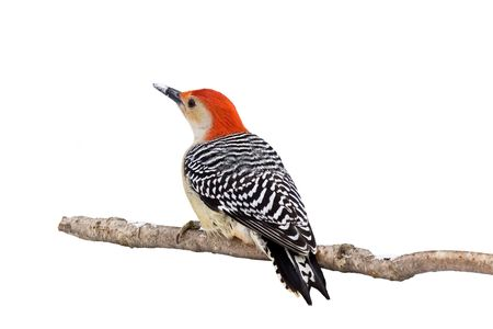 red-bellied woodpecker with a snow covered beak; white background photo