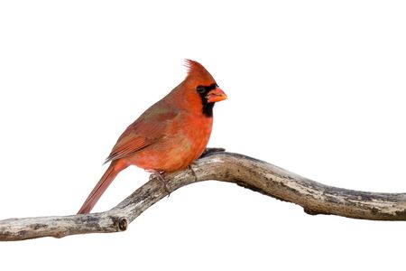 profile of a male cardinal sitting on a branch; white background