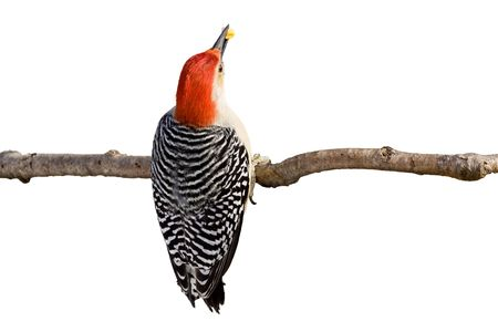 red-bellied woodpecker holds a kernel of corn in its beak; white background photo