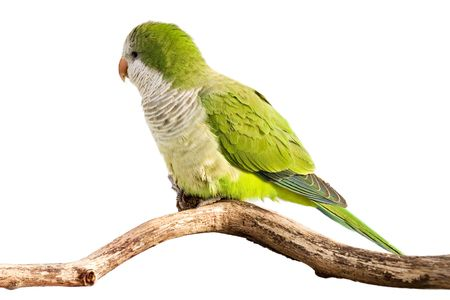 monk parrot profiles its green feathers in the sunlight; white background photo