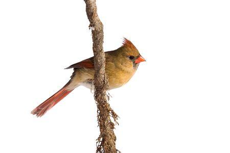 female cardinal: female cardinal rests on a shreaded vine; white background