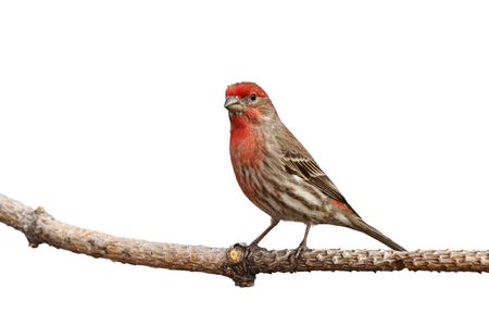 canary: male house finch proudly perched on a branch; white background