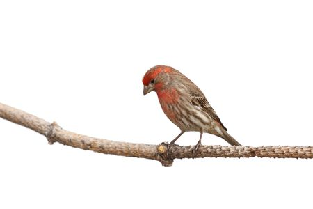 contemplates: while perched a house finch contemplates its next landing location; white background Stock Photo