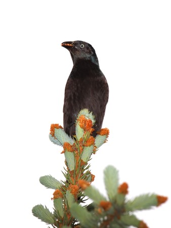 grackle sit atop blue spruce pine tree with a beak full of seeds; white background photo