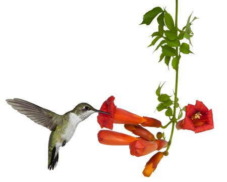 tubular: ruby throated hummingbird sips nectar from a trumpet vine; white background Stock Photo