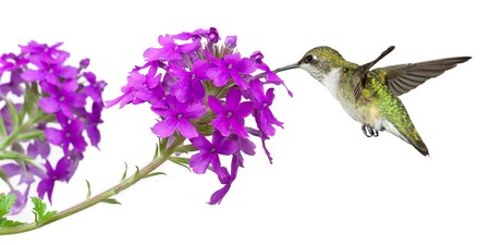 hummingbirds drinks nectar from a purple verbena; white background photo