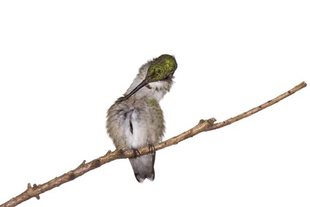preens: hummingbird preens herself while perched on a branch; white background