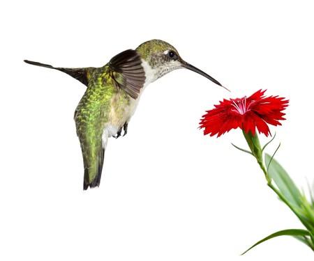 humming: carrozas de colibr� sobre un dianthus rojo; fondo blanco