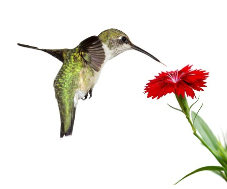 hummingbird floats over a red dianthus; white background Stock Photo