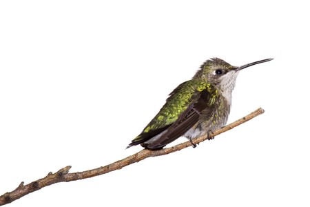 white perch: profile of a hummingbird perched on a branch; white background