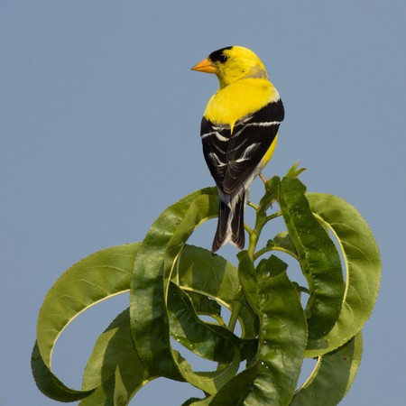 golden finch perched on a leaf with sky blue background Stock Photo - 7621712