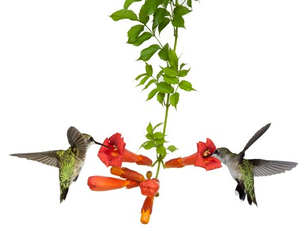 two hummingbirds sip nectar from a trumpet vine, white background.