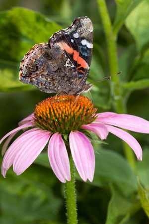 red admiral butterfly feeds atop a purple cone flower Stock Photo - 7621720