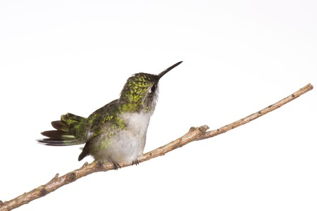 hummingbird fans her tail with a look of disdain toward the photographer photo