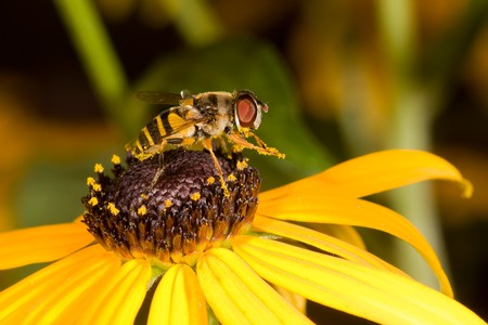preens: honey bee preens itself of the pollen of a blacked eyed susan; macro view shallow focus Stock Photo