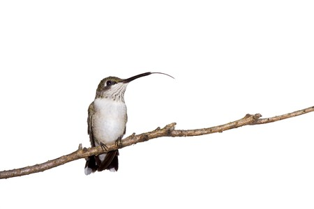 hummingbird sticks her tongue out while perched on a branch; white background Banco de Imagens