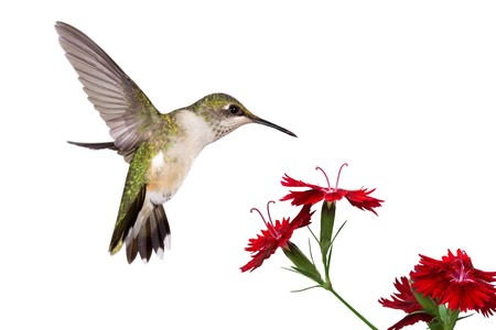 hummingbird spreads her tail over three red dianthus; white background 스톡 콘텐츠