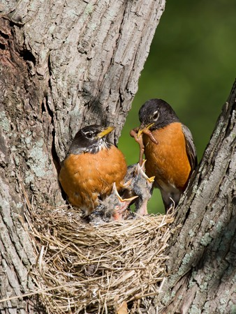 robin: father robin feed his unfledged young a tasty treat of earthworms while mom watches